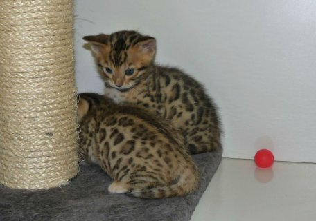 Bengal Kitten for exmass