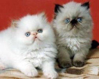 Himalayan Kittens Available