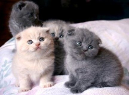 Pedigree Scottish Fold Kittens