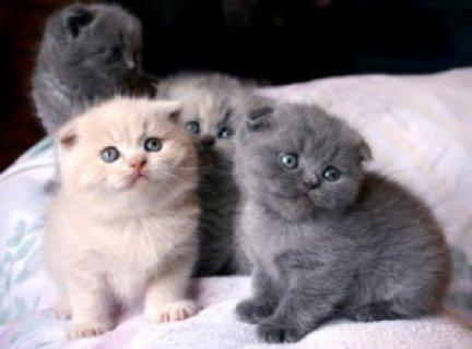 Pedigree Scottish Fold Kittens
