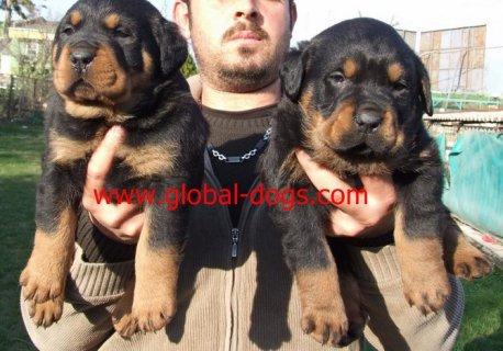 كلاب-روت-ويلر