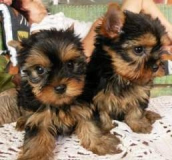 Free Micro Tiny Teacup Yorkie Puppies.