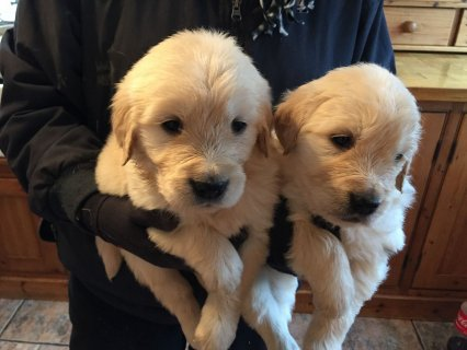 Very healthy Golden Retriever Puppies
