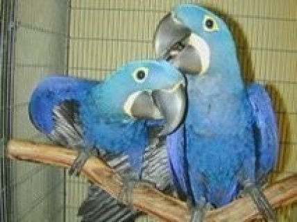 Hyacinth Macaw Parrots for Sale