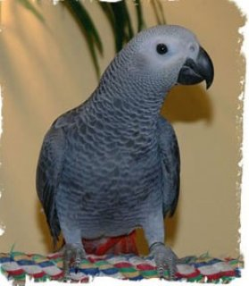 Healthy African Grey Parrot available