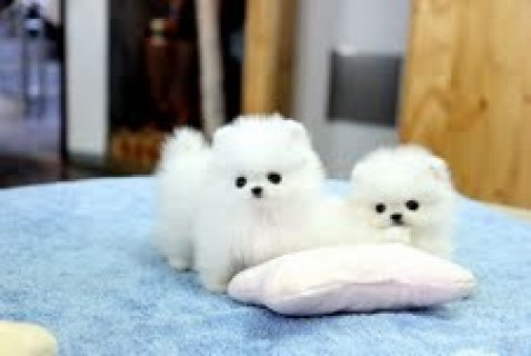 Good Looking Pomeranian Puppies Available