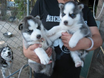 صور Purebred Siberian Husky Puppies Available 1