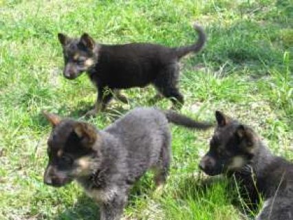 صور german shepherds puppies 1