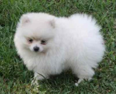 .Lovely Female Pomeranian puppy........