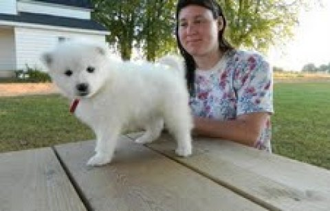 Gorgeous samoyed Puppies for adoption