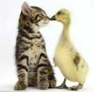 Cute British shot hear kittens for sell