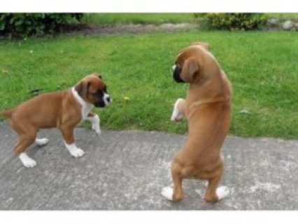Two Friendly Boxer Puppies Available,,,,,,,,,,,,