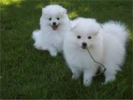 American Eskimo Puppies For Adoption,,,,,,,,,,,,,,,,,,,,,,
