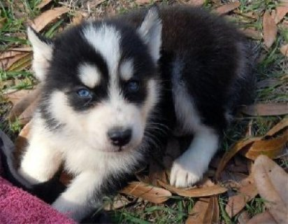 صور AKC Siberian Huskies puppies available 1