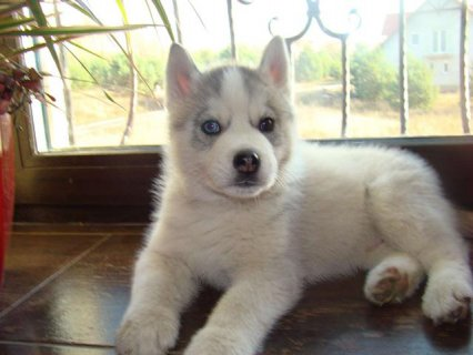 صور MALE AND FEMALE SIBERIAN HUSKY 12 WEEKS OLD 1