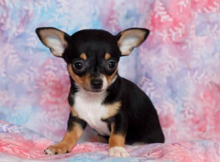 صور Beautiful Chihuahua puppies for sale 1