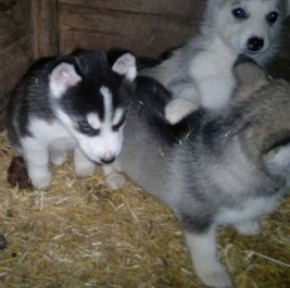 صور Afectionate Siberian Husky Puppies for Sale 1