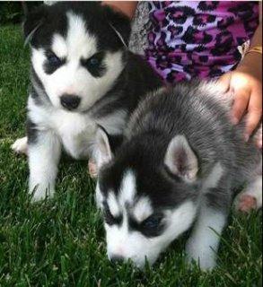 cute blue eyed siberian husky puppies