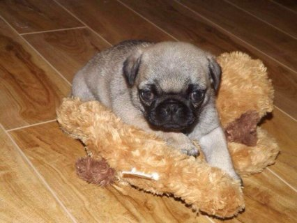 صور Adorable Fawn Pug Puppies 1