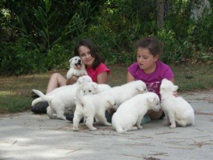 beautiful White German Shepherd Puppies