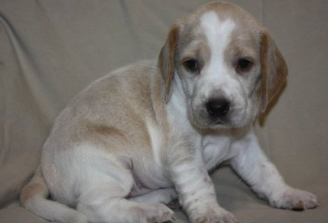صور Beagle Puppies For Sale 1