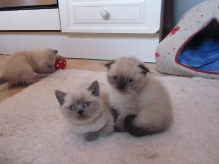 Very Rare Scottish Fold Kittens