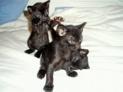 صور Bombay kittens for sale 1