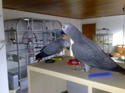 Red Congo African Grey Parrot22