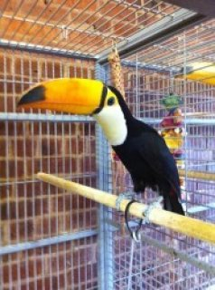 Breeding Pair of Toco Toucans.....