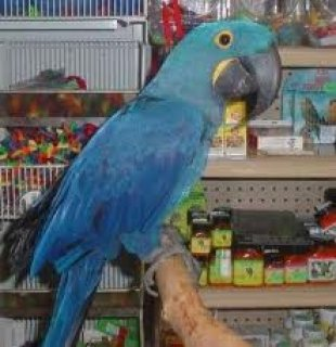 Talking Blue and Gold Macaws for free adoption....