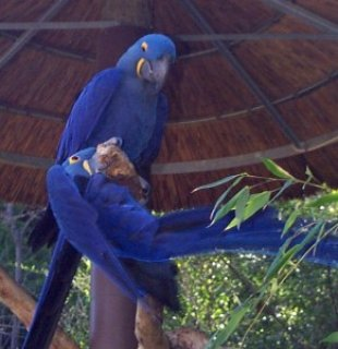 Hyacinth Macaw Pair for Adoption