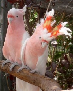 Cockatoos are available for sale
