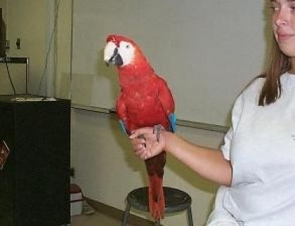 Obedient and Intelliegtn Scarlat Macaw Parrots For Good Homes...