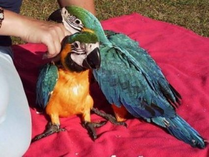 Two beautiful Talking Blue and Gold Macaw Parrots for free adopt