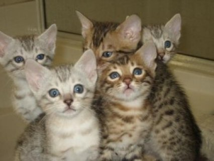 BENGAL Kittens Available......
