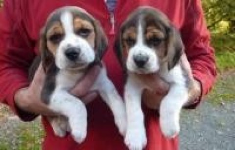 صور Beautiful Beagle Puppies For Sale 1