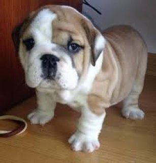 صور Male and Female English Bulldogs 1
