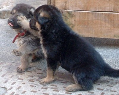 صور German Shepard Puppies Available for Free Adoption 1