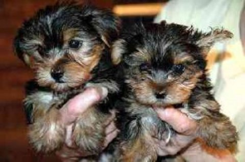 صور ***Lovely Tea cup Yorkie Puppies For A Caring And Loving Home*** 1