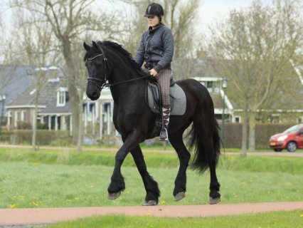صور NOW READY MARE FRIESIAN HORSES 1 1