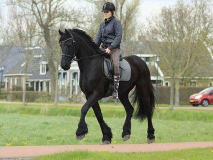 NOW READY MARE FRIESIAN HORSES 1