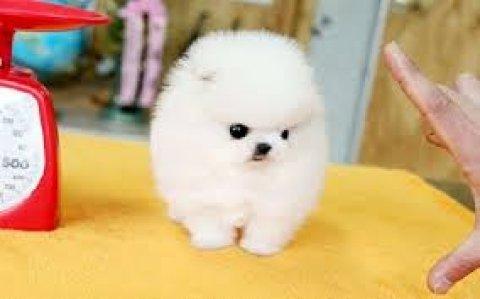 Adorable Teacup Size Pomeranian puppies for Adoption11
