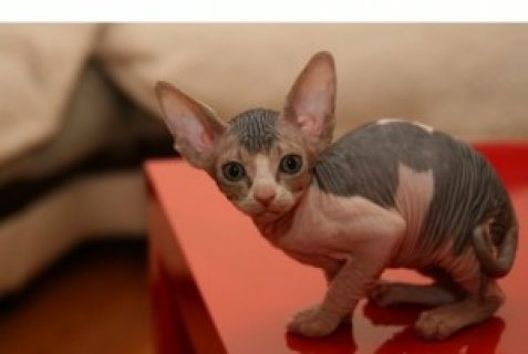 صور Registered Sphynx Kittens 1