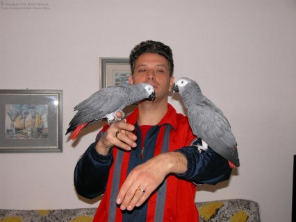 Outstanding male and female Congo African Grey Parrots