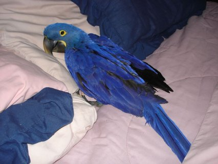 Blue and Gold Macaw Breeding Pair ready for new home !