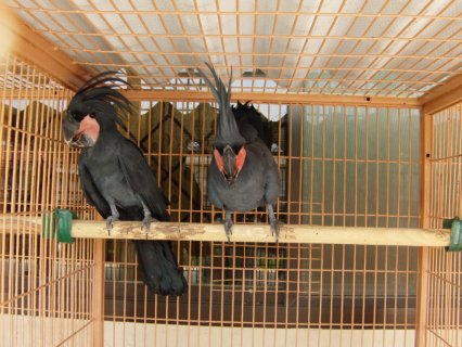 Black Palms Cockatoos Parrots Available