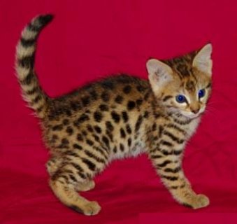 Stunning male and female Savannah kittens