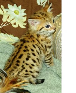 Lovely Male And Female Bengal kittens