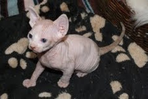 Lovely Purebred Sphynx Kittens for adoption