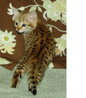 2 Beautiful Amazing Super Cute Registered Bengal Kittens